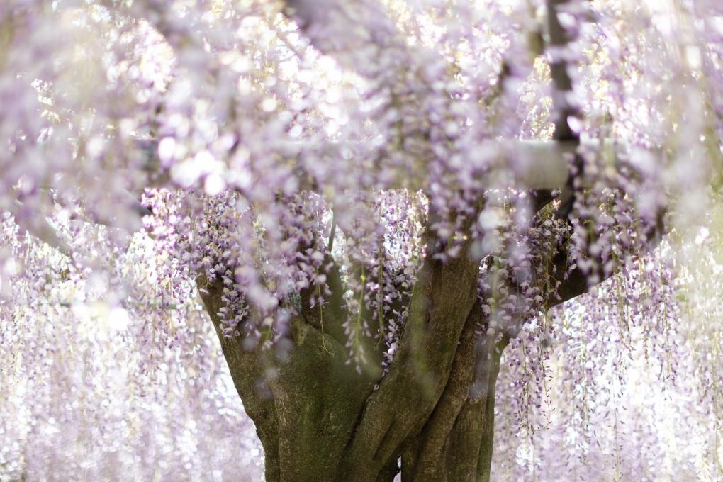 Новое красивые места: Сад Кавачи Фудзи, Япония